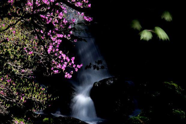 30,5,19竜頭の滝のミツバツツジ2-2b.jpg