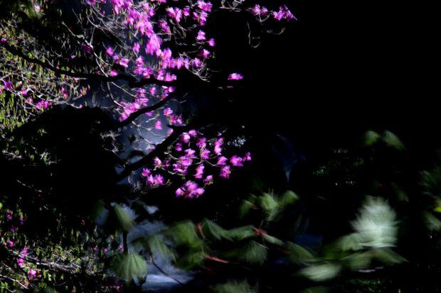 30,5,19竜頭の滝のミツバツツジ8-1b.jpg