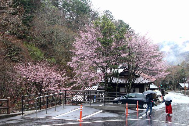 30,5,3奥日光の桜1-2b.jpg