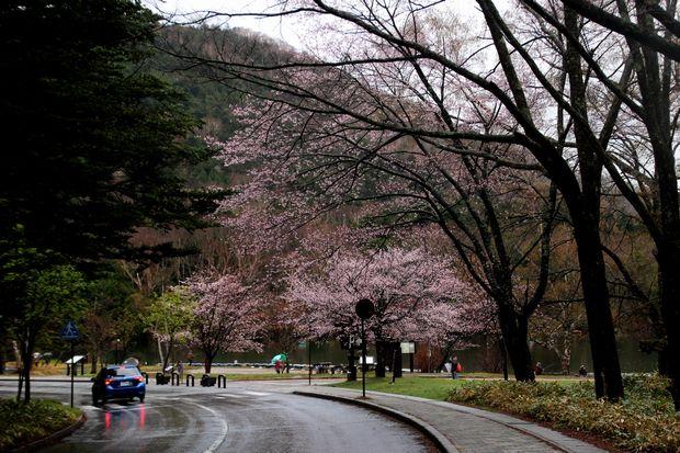 30,5,3奥日光の桜1-4b.jpg