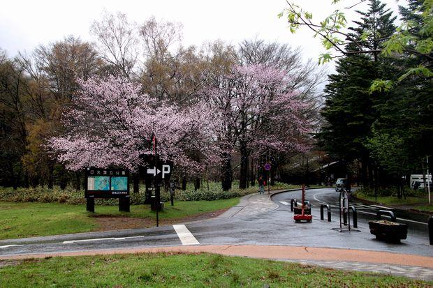 30,5,3奥日光の桜1-7b.jpg