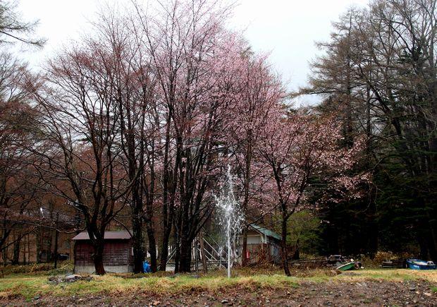 30,5,3奥日光の桜1-9b.jpg