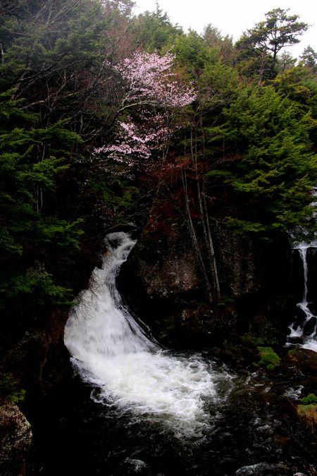 30,5,3竜頭の滝の桜1-5b.jpg