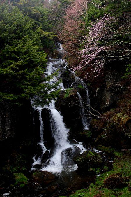 30,5,3竜頭の滝の桜1-6b.jpg