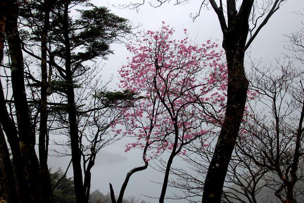 30,5,3霧の中のヤシオツツジ1-4b.jpg
