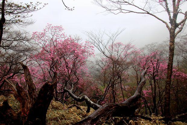 30,5,3霧の中のヤシオツツジ1-5b.jpg