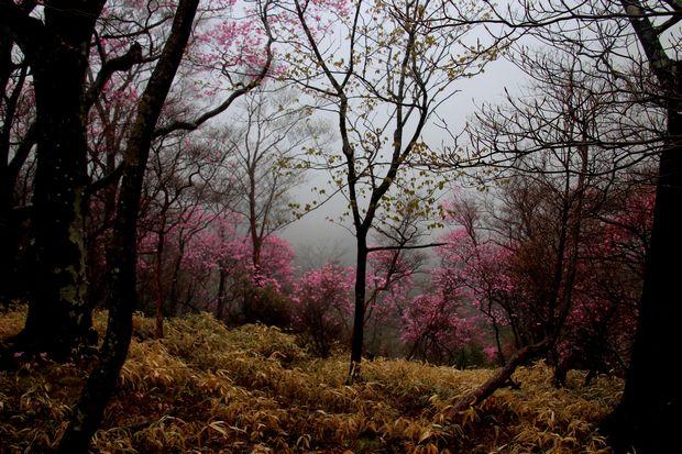30,5,3霧の中のヤシオツツジ1-9b.jpg