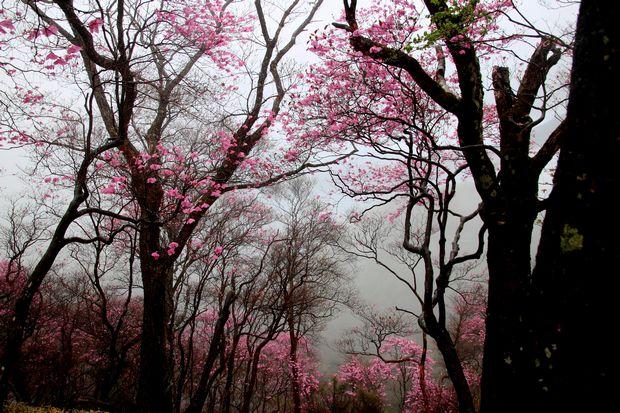 30,5,3霧の中のヤシオツツジ2-3b.jpg