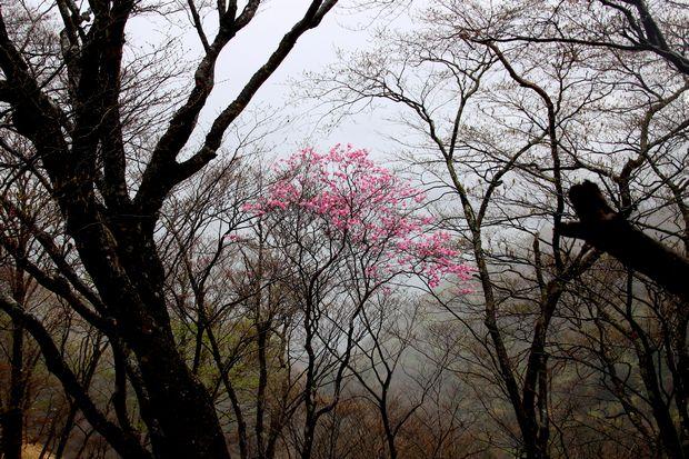 30,5,3霧の中のヤシオツツジ2-8b.jpg