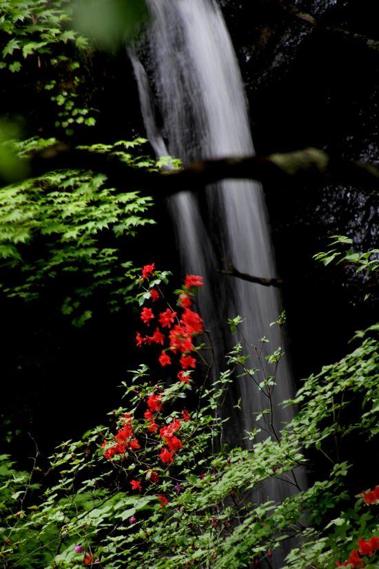 30,6,1竜頭の滝のヤマツツジ1-3b.jpg