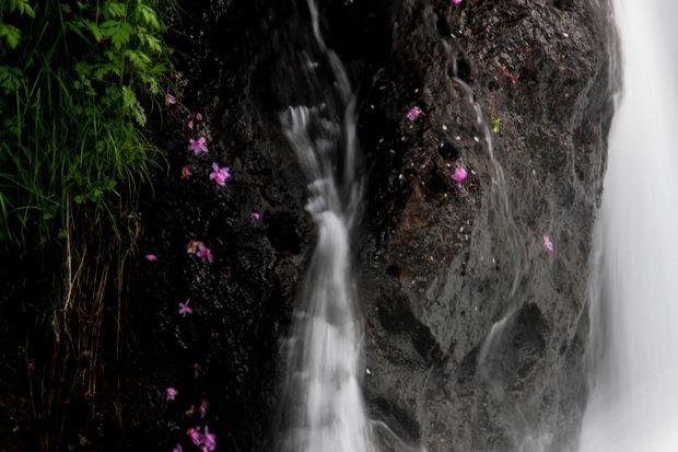 30,6,2竜頭の滝のミツバツツジ1-3b.jpg