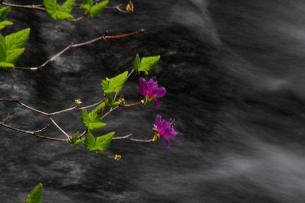 30,6,2竜頭の滝のミツバツツジ2-2b.jpg