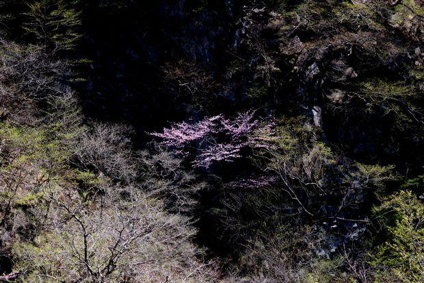 1,5,5, いろは坂のオオヤマザクラ1-1b.jpg
