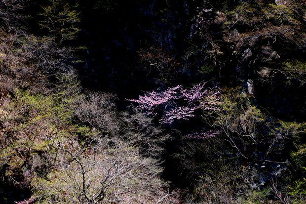 1,5,5, いろは坂のオオヤマザクラ1-3b.jpg