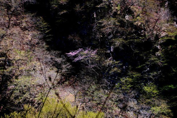 1,5,5, いろは坂のオオヤマザクラ1-5b.jpg
