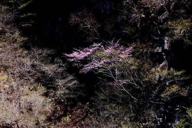 1,5,5, いろは坂のオオヤマザクラ1-6b.jpg