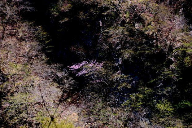 1,5,5, いろは坂のオオヤマザクラ1-7b.jpg
