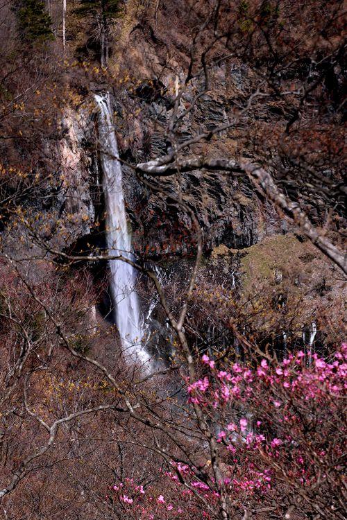 1,5,5, 明智トンネル上からのアカヤシオ2-5b.jpg