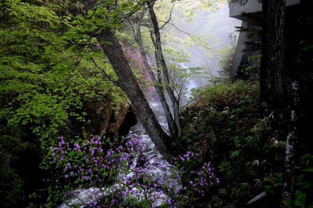 1,6,1 竜頭の滝のミツバツツジ1-2b.jpg