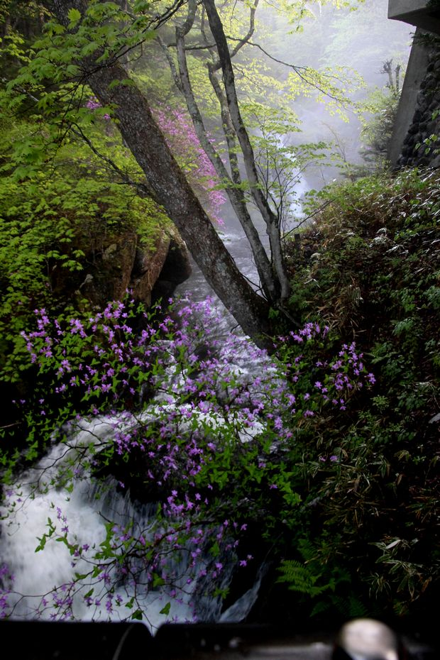 1,6,1 竜頭の滝のミツバツツジ1-4b.jpg