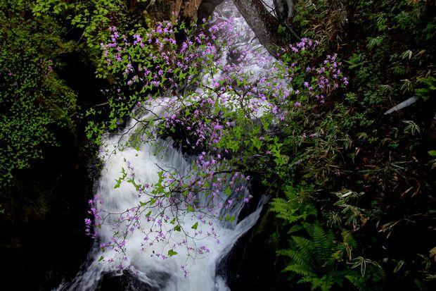 1,6,1 竜頭の滝のミツバツツジ1-5b.jpg