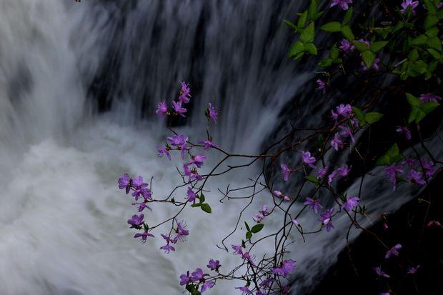 1,6,1 竜頭の滝のミツバツツジ3-1b.jpg