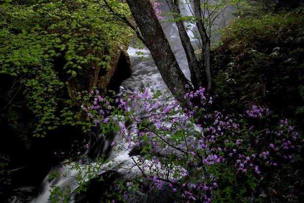 1,6,1 竜頭の滝のミツバツツジ4-2b.jpg
