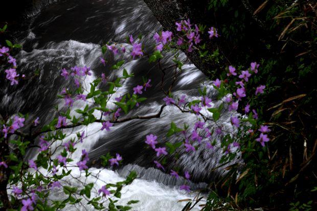1,6,1 竜頭の滝のミツバツツジ4-6b.jpg