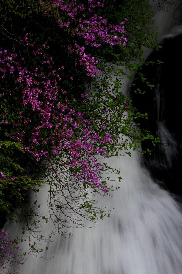 1,6,1 竜頭の滝のミツバツツジ5-4b.jpg
