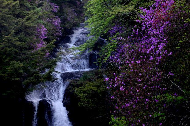 1,6,1 竜頭の滝のミツバツツジ5-7b.jpg