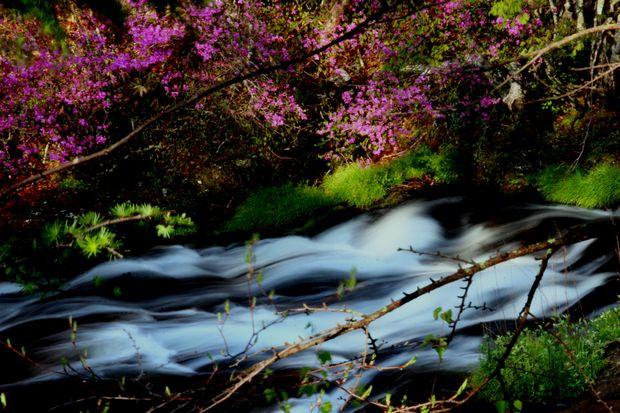1,6,1 竜頭の滝のミツバツツジ5-9b.jpg