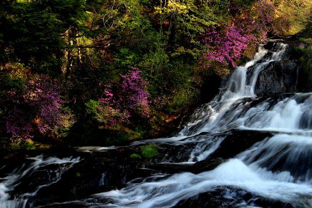 1,6,1 竜頭の滝のミツバツツジ6-2b.jpg