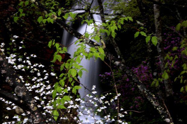 1,6,1 竜頭の滝のミツバツツジ7-2b.jpg