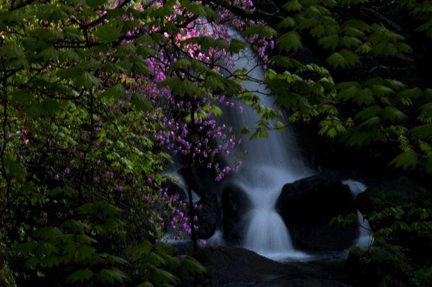 1,6,1 竜頭の滝のミツバツツジ7-4b.jpg