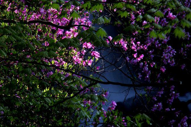 1,6,1 竜頭の滝のミツバツツジ7-6b.jpg