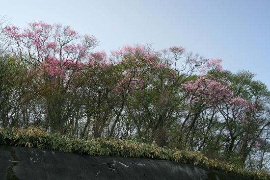 20,5,4 月山のヤシオ1b.jpg
