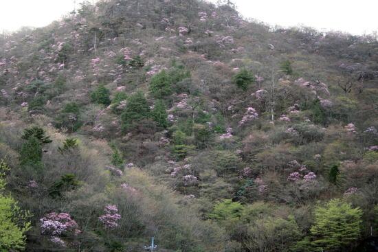 20,5,4 月山のヤシオ3b.jpg