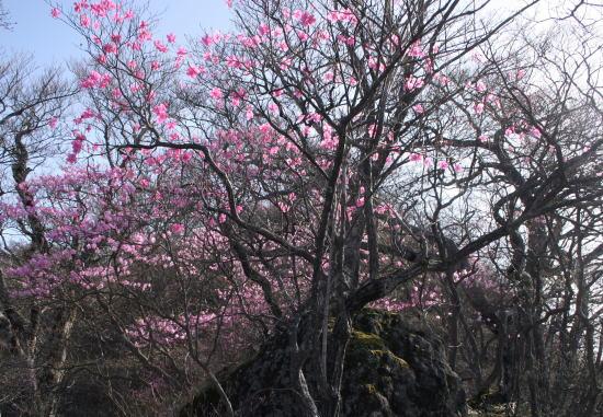 20,5,4 月山のヤシオ9b.jpg