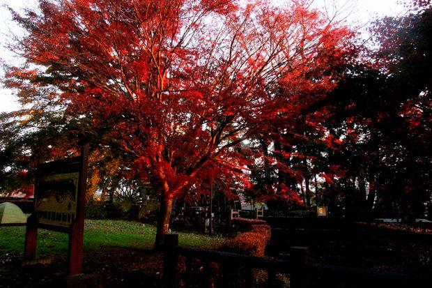 30,11,11 杉並木公園の紅葉1-9b.jpg