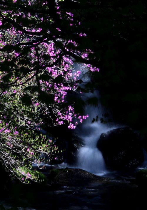 30,5,19竜頭の滝のミツバツツジ1-8b.jpg