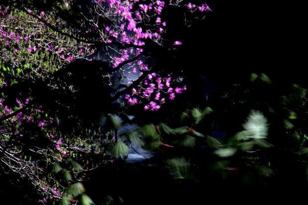 30,5,19竜頭の滝のミツバツツジ3-4b.jpg