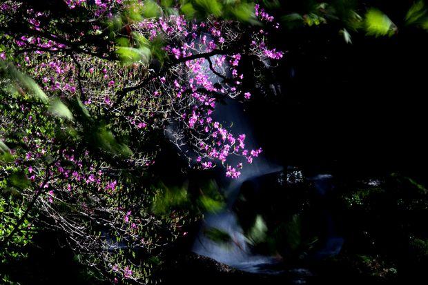 30,5,19竜頭の滝のミツバツツジ3-5b.jpg