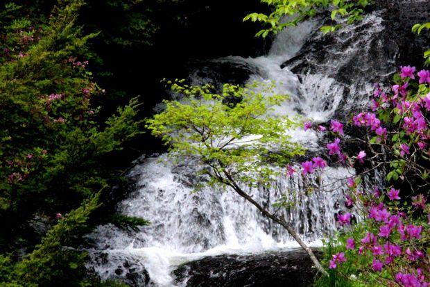 30,5,26竜頭の滝のミツバツツジ1-8b.jpg