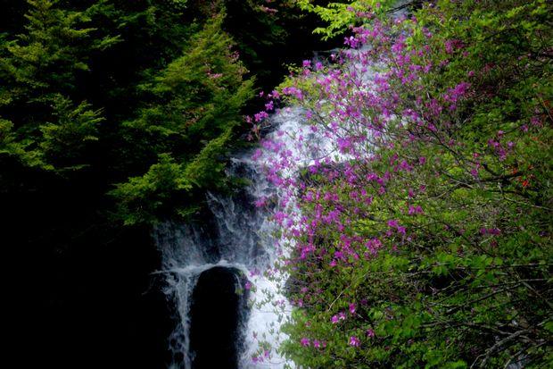 30,5,26竜頭の滝のミツバツツジ2-1b.jpg