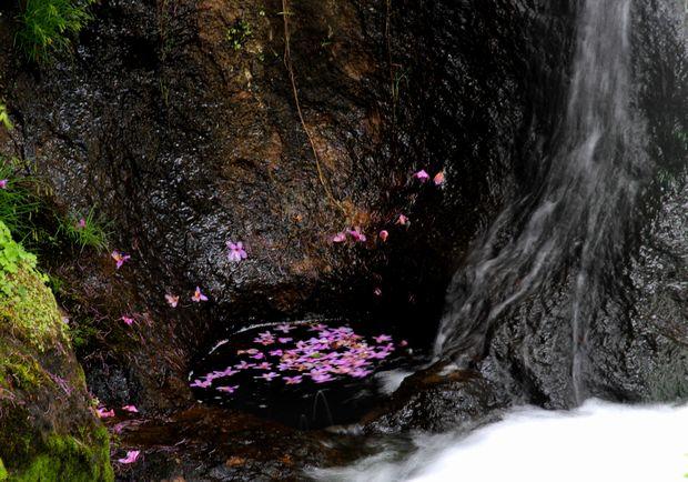 30,6,2竜頭の滝のミツバツツジ2-1b.jpg