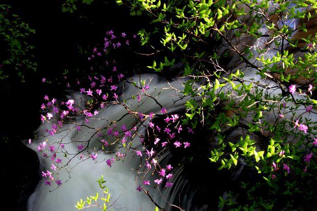 30,6,2竜頭の滝のミツバツツジ2-3b.jpg
