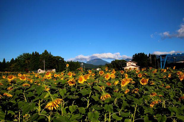 30,8,17連山ヒマワリ1-4b.jpg