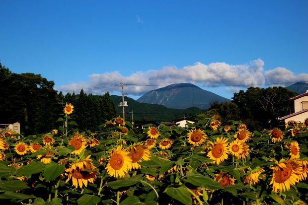 30,8,17連山ヒマワリ1-6b.jpg