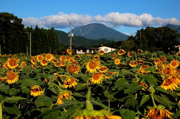 30,8,17連山ヒマワリ2-1b.jpg