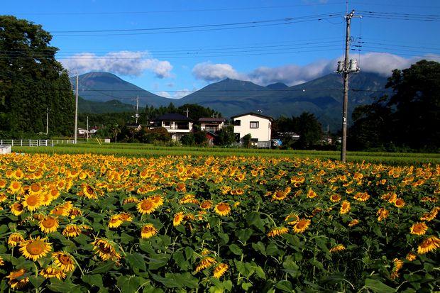 30,8,17連山ヒマワリ2-8b.jpg